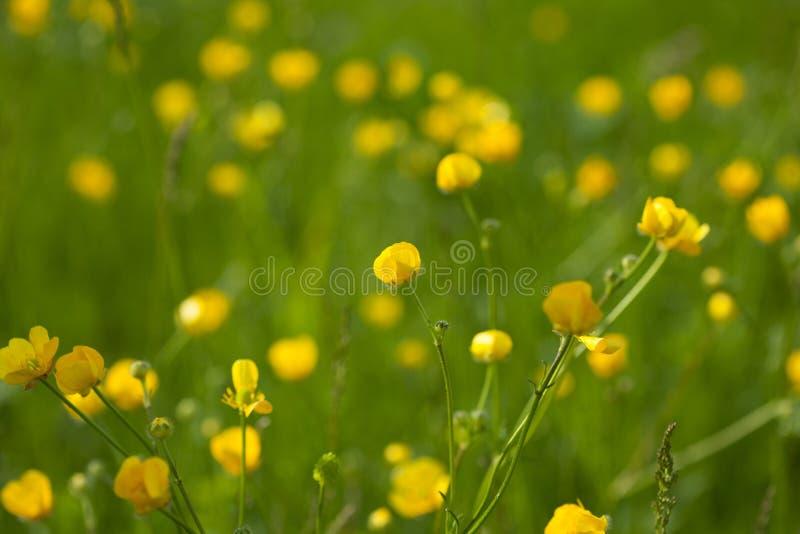 Желтый лютик цветет в луге среди зеленой травы в летнем дне Справочная информация стоковое фото rf