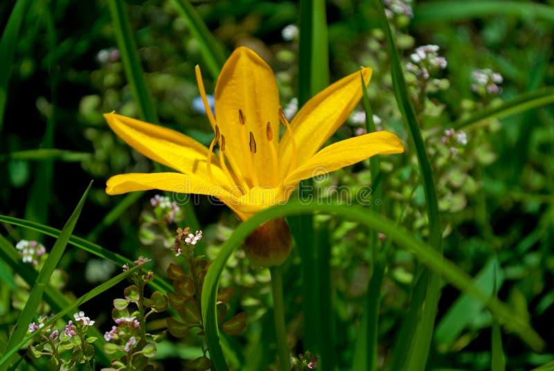 Желтый daylily цветка стоковое фото rf