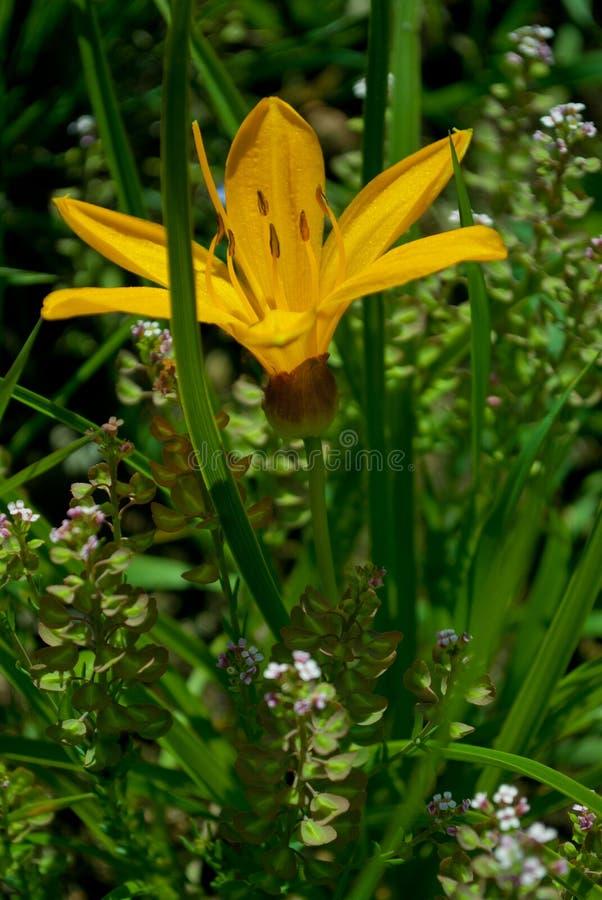 Желтый daylily цветка стоковые изображения rf
