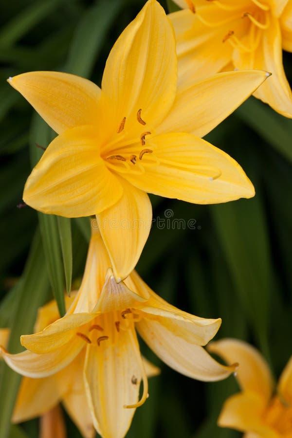 Желтый daylily стоковое фото
