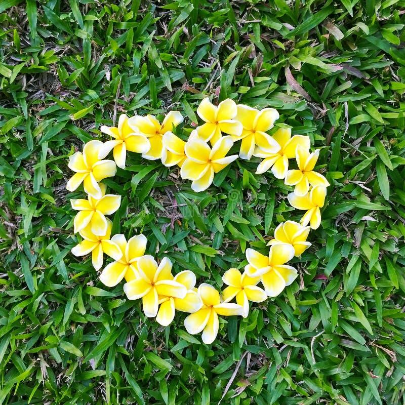 Желтый frangipani аранжировал в форме сердца на день зеленой травы влюбленности на лето природы стоковое изображение rf