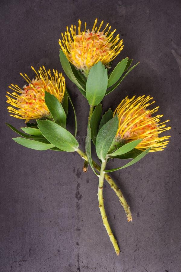 Желтый protea pincushion цветка cordifolium leucospermum стоковая фотография rf