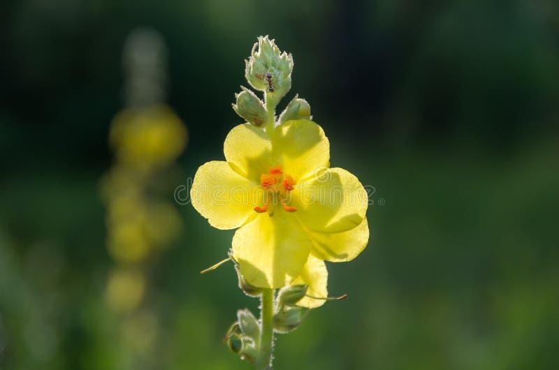 Желтый Verbascum Nigrum полевого цветка стоковые изображения
