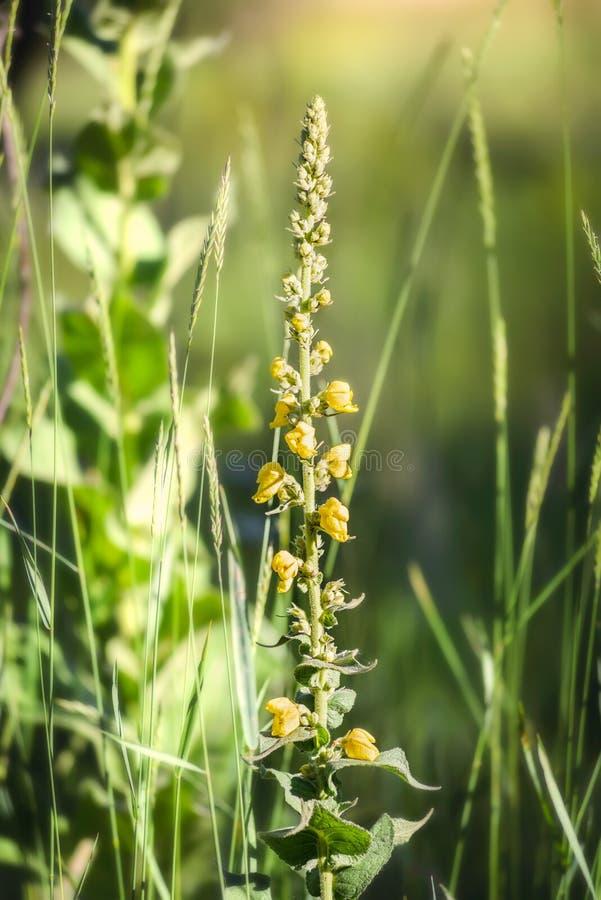 Желтый Verbascum Thapsus стоковые изображения