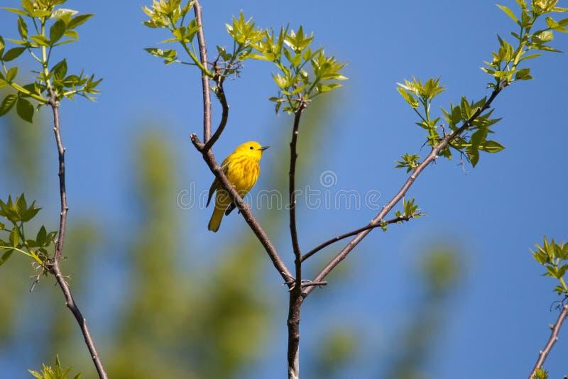 Желтый Warbler стоковое фото