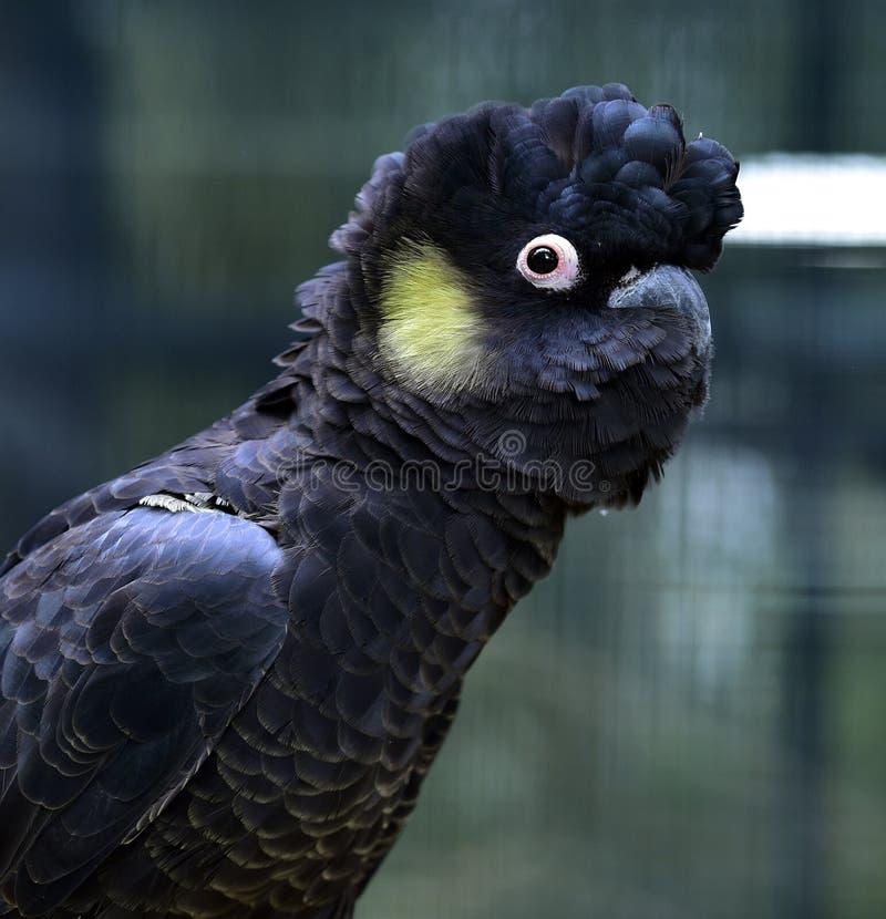 Желт-замкнутый Черно-какаду стоковое изображение rf