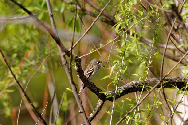Желт-bellied мухоловка в дереве стоковые фотографии rf