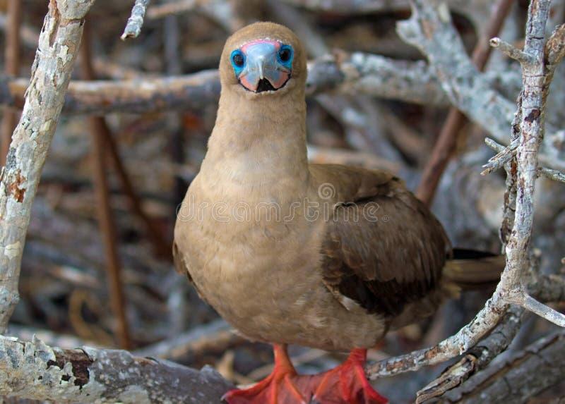 Живая природа островов Галапагос с красными Footed птицами олуха стоковые изображения