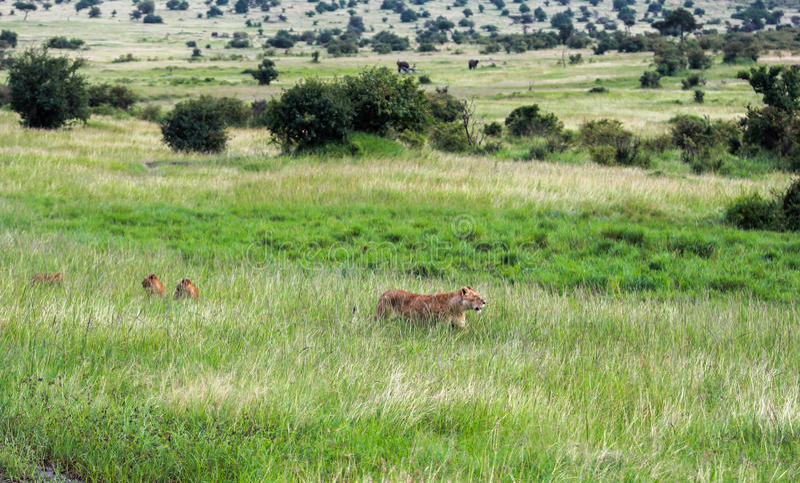 Живая природа в национальном парке Maasai Mara, Кении стоковые изображения
