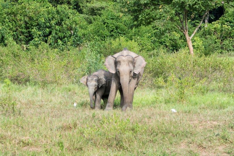Живая природа слона семьи азиатского идя и смотря траву для еды в национальном парке Kui Buri леса Таиланд стоковые фотографии rf