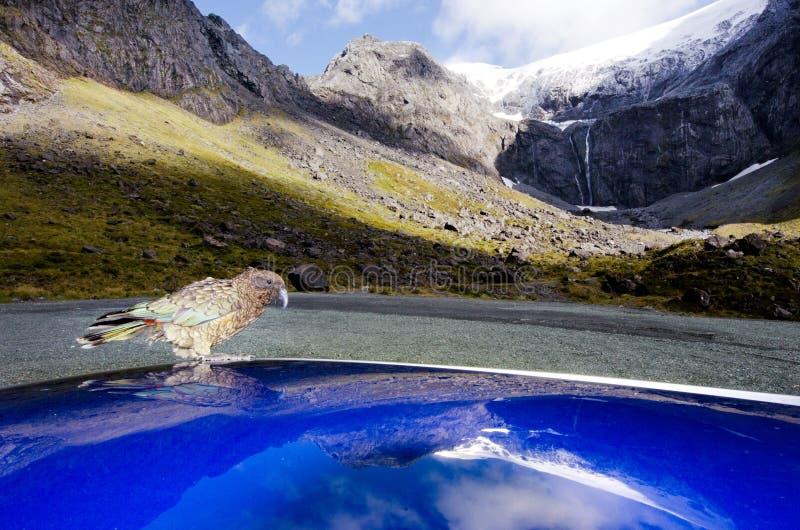 Download Живая природа NZ NZL Kea - Новой Зеландии Стоковое Изображение - изображение насчитывающей назначение, попыгай: 37927357