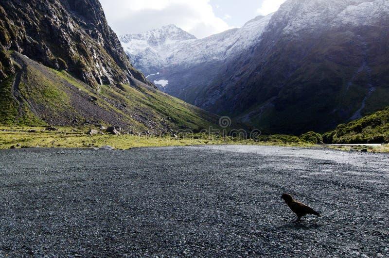 Download Живая природа NZ NZL Kea - Новой Зеландии Стоковое Изображение - изображение насчитывающей homer, каникула: 37927421