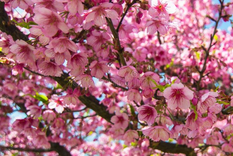 Живое розовое цветене Сакуры, вишневый цвет стоковое фото
