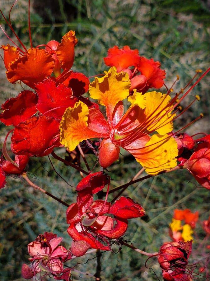 Живое цветене в пустыне Аризоны стоковая фотография rf