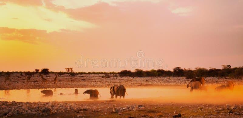 Живое waterhole на сумраке в Etosha с слонами стоковая фотография