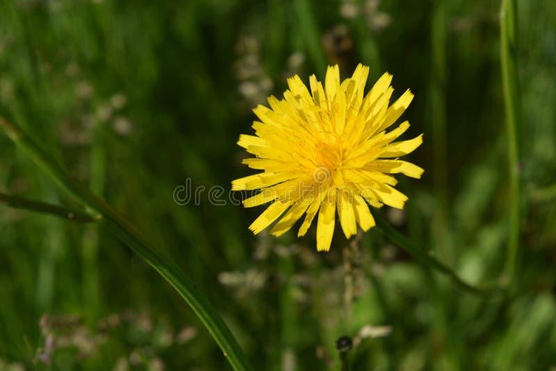 Живой желтый одуванчик цветя в толстой зеленой траве стоковая фотография
