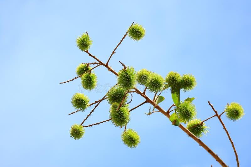 Живой зеленый молодой рамбутан приносить на дереве против яркого голубого солнечного неба стоковое изображение