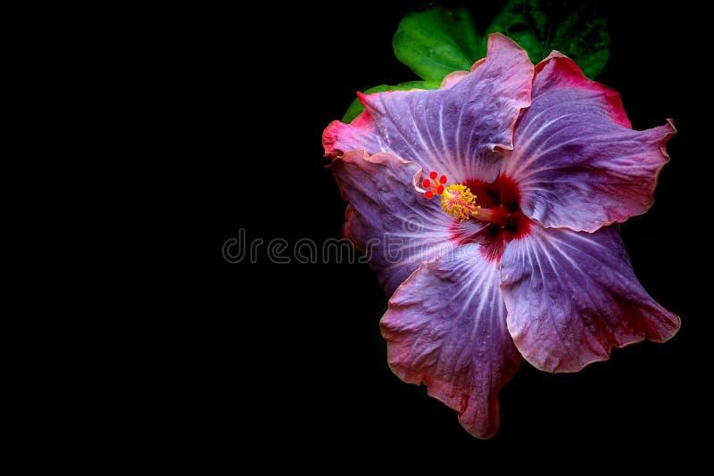 Живой китайский гибридный цветок гибискуса стоковая фотография