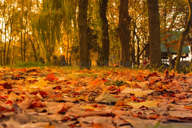 Живой крупный план падая листьев осени с освещает контржурным светом от солнца стоковое изображение