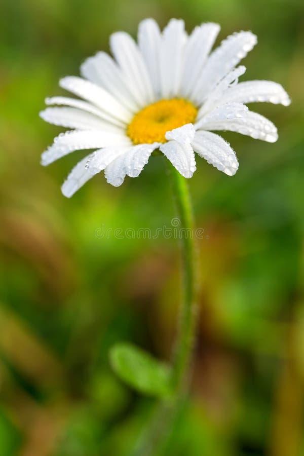 Живой цветок маргаритки лета в росе стоковые фото