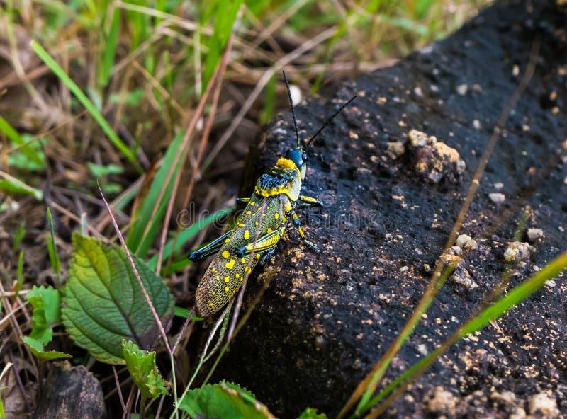 Живой экзотический сверчок стоковая фотография rf