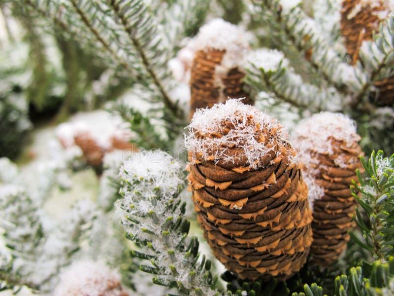 Живописная ветвь ели с конусами покрытыми со снегом стоковое фото rf