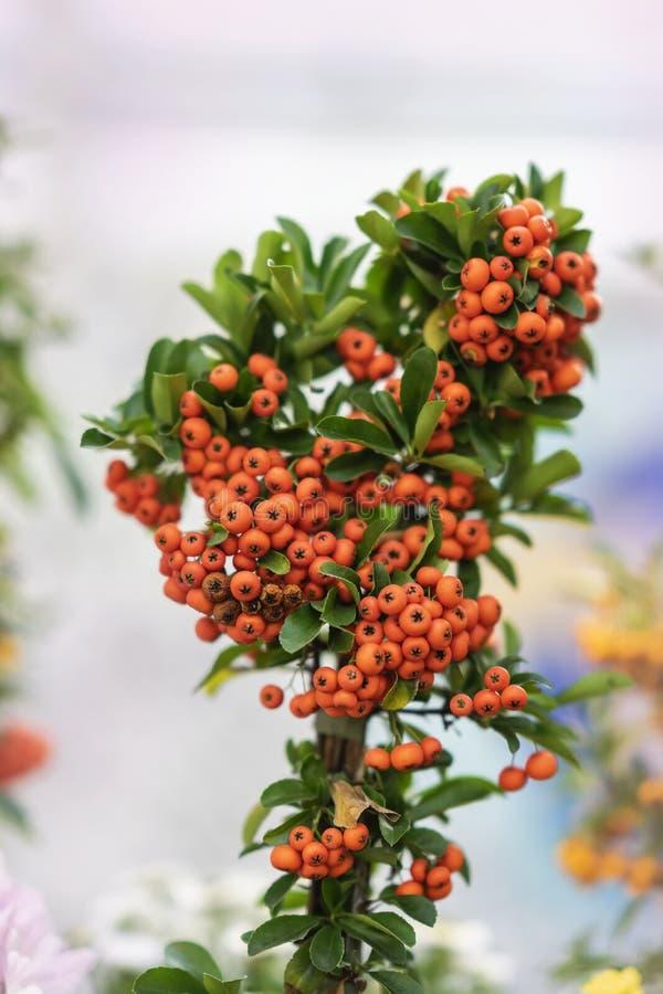 Живописное декоративное дерево с ярким концом-вверх ягод, солнечным днем сезон путя пущи падения осени Современная естественная в стоковое изображение