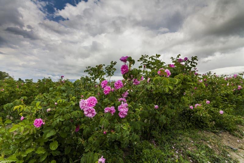 Живописный ландшафт с розовым полем под облачным небом стоковое фото