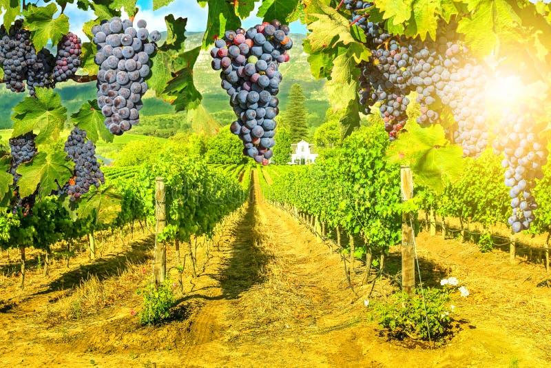 Живописный виноградник на заходе солнца стоковая фотография rf