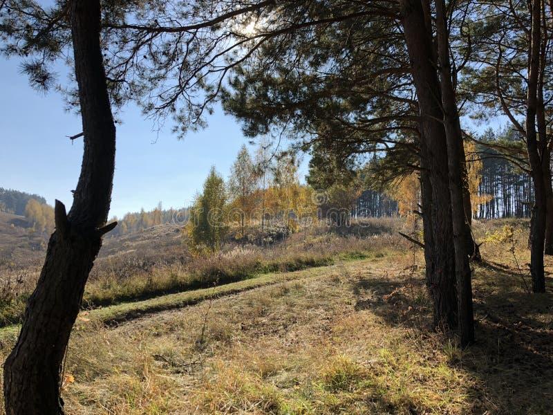 Живописный ландшафт на солнечный день осени: пожелтетые ветерки и зеленые сосны на скалистом ярком холме, массивные хоботы старых стоковые изображения rf