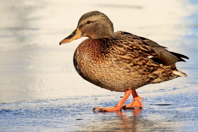 Живописный портрет дикой очень яркой утки на тонком льде на солнечный день Высокое определение, видимые капельки воды на feath стоковое фото rf