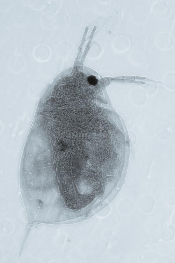 Животная блоха воды стоковое изображение