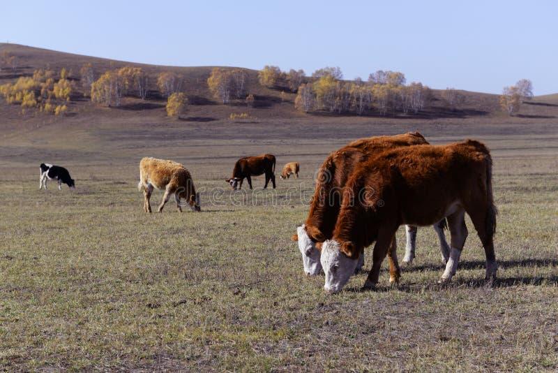 Животноводческая ферма в злаковике в Внутренней Монголии стоковые фото