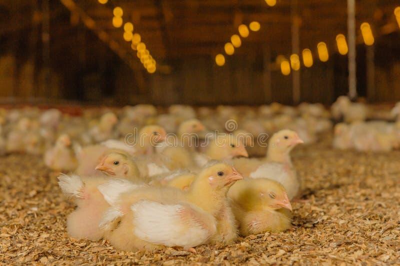 Животноводческие фермы - птица - бройлеры стоковые фото