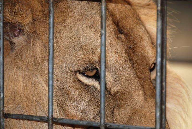 животное близким львом сделало сафари изображения парка к очень стоковая фотография rf