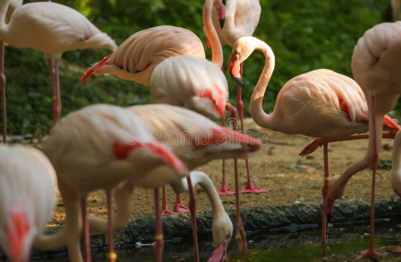 Животное живой природы, фламинго тип wading птиц, способных летчиков Фламинго обычно стоят на одной ноге пока другое tucked внизу стоковая фотография