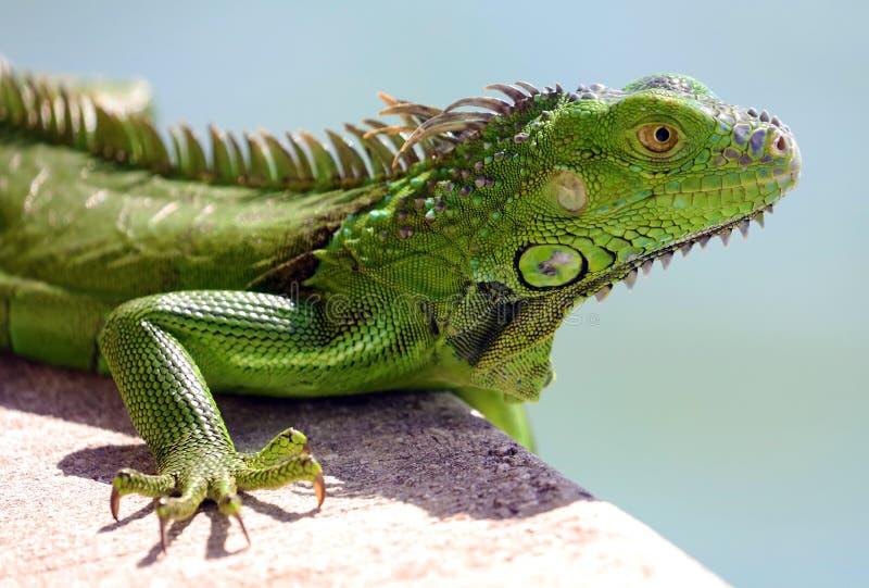 Животное зеленой игуаны мужское красивое multicolor, красочный гад в южной Флориде стоковое изображение