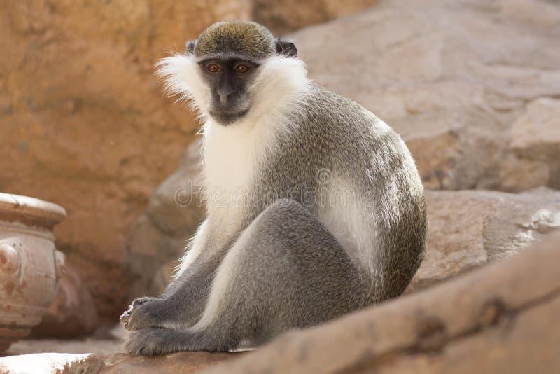 Животное зеленой обезьяны в их фото естественной среды обитания вышесказанного Кения стоковая фотография rf