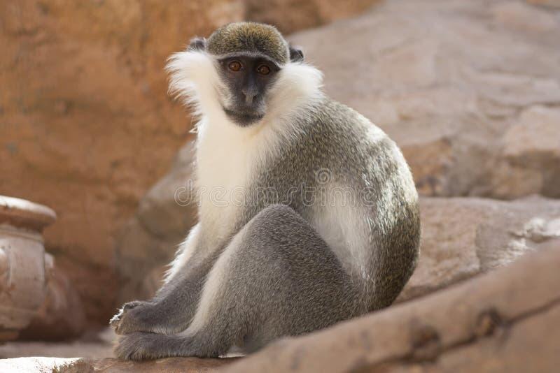 Животное зеленой обезьяны в их фото естественной среды обитания вышесказанного Кения стоковое фото rf