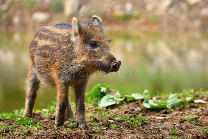 Животное - дикий кабан в одичалом Детеныш носит сыграть в природе Sus Scrofa стоковые изображения