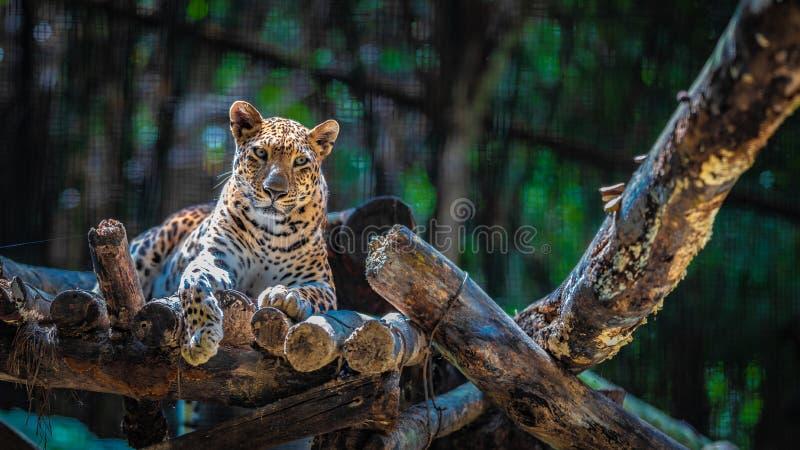 Животное леопарда грациозное и сильное живой природы стоковая фотография