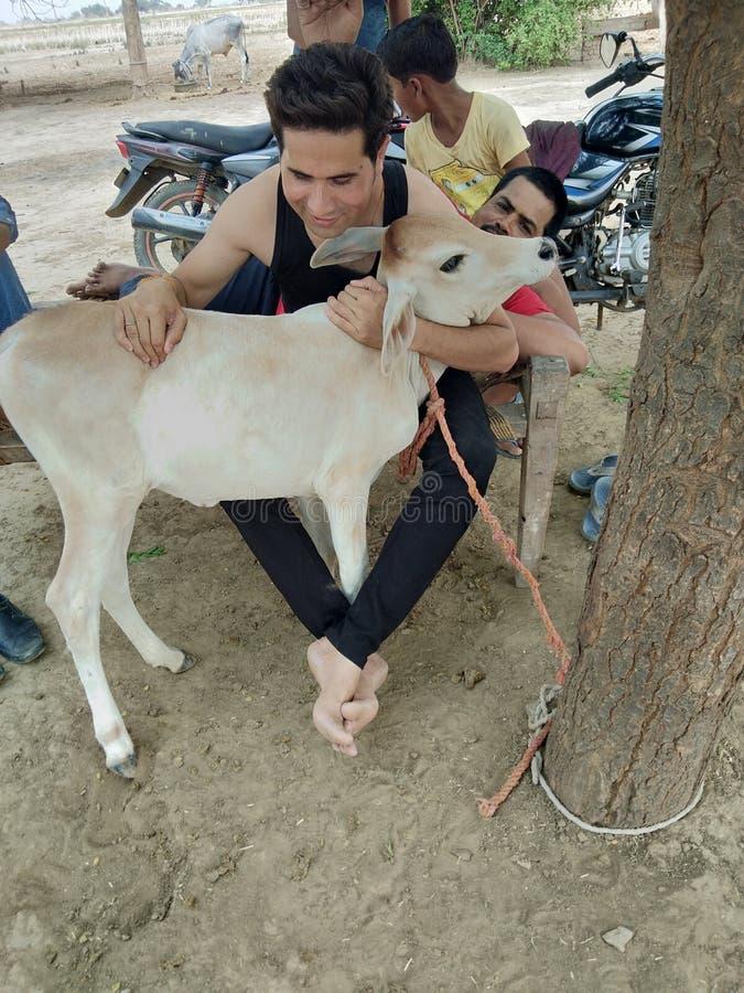 Животное младенца коровы стоковая фотография rf