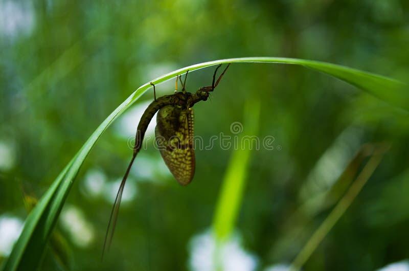 Животное насекомого Ephemera стоковое изображение rf