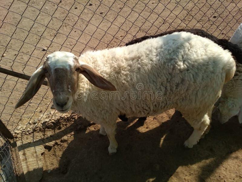 Животное овец стоковые фотографии rf
