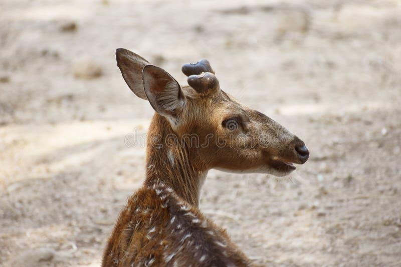 Животное оленей в лесе стоковые фотографии rf