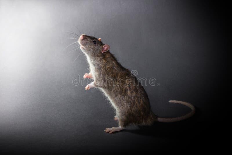 Животное серое положение крысы стоковое фото rf