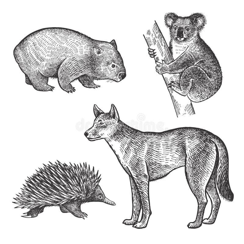 Животные Австралии Медведь коалы, Wombat, ехидна, собака динго иллюстрация штока
