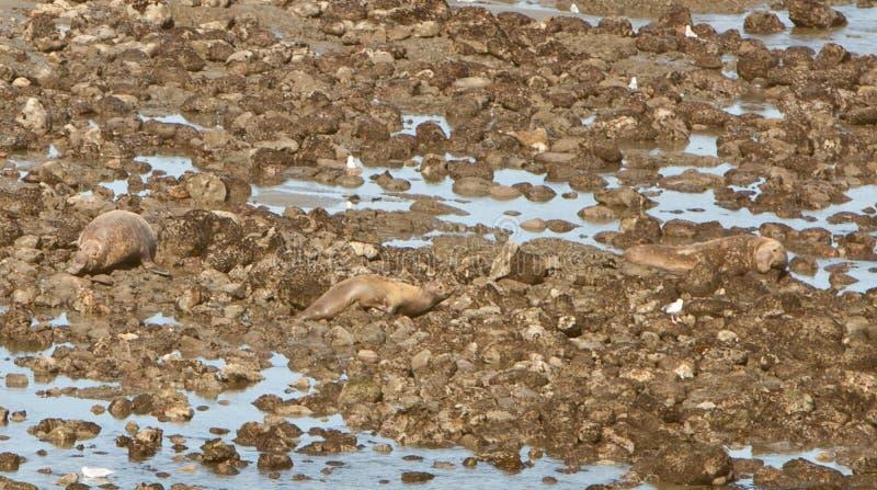 Животные береговых пород уплотнения Тихие океан стоковая фотография