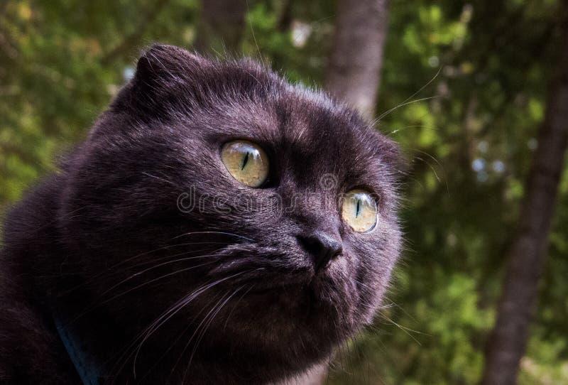 Животные: Милый кот Munchkin оплачивая внимание стоковая фотография