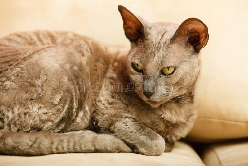 Животные дома Египетский кот mau стоковое изображение rf